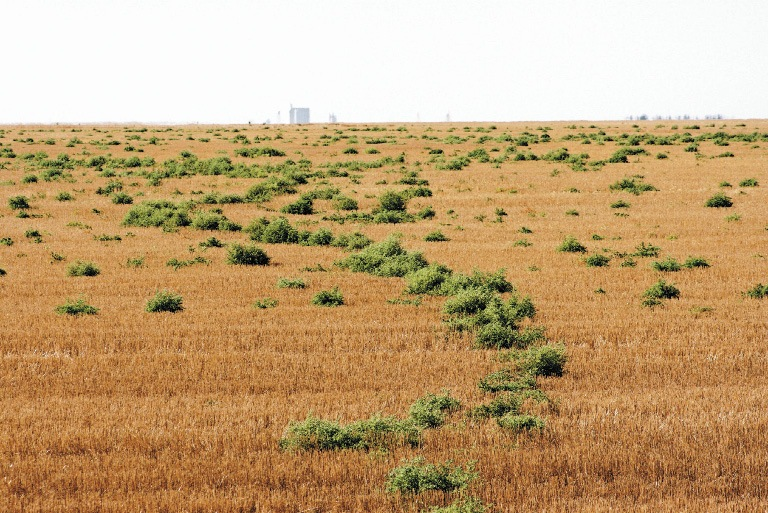 Kochia in wheat stubble