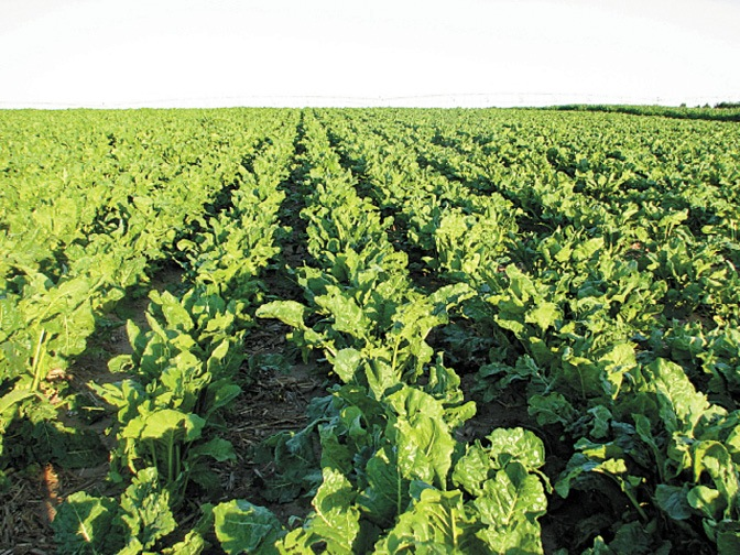 Sugarbeet Field