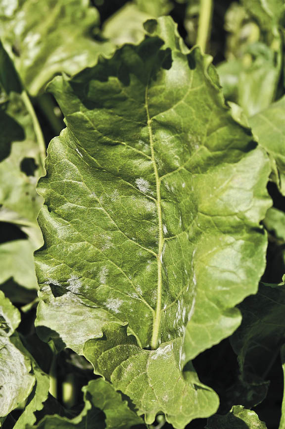 Growers can keep powdery mildew off of sugarbeet crops.